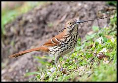 Brown Thrasher (Ed Sivon) Tags: america canon nature wildlife wild western southwest flickr galveston bird texas