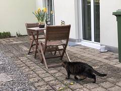 Tabby (tabbynera) Tags: cats