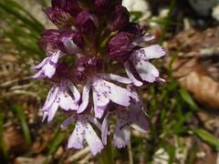 Purple lady (JuliaC2006) Tags: kent bluebells flowers wood orchid lady orchispurpurea