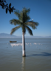 Lago de Chapala (Jim Devonshire(JDVImages)(>74 million views-thank) Tags: lagodechapala palm pelicans