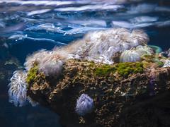 P4210060 (asferic) Tags: barcelona catalonia catalunya aquarium fauna sea