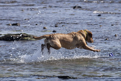 IMG_8008 (Rorals) Tags: beach seamill westkilbride northayrshire scotland scottishwildlife wildlife nature sea seaside fun dog pet canine play water labrador