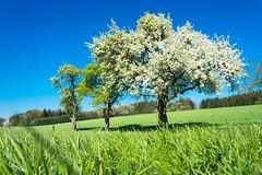 blooming apple tree (Theo Crazzolara) Tags: spring blossom blooming tree apple apfelbaum apfel apfelblüte blüte baumblüte mostviertel austria österreich europe scenic scenery frühling landscape beautiful sun nature natural organic blossomingseason season stmichael