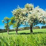 blooming apple tree thumbnail