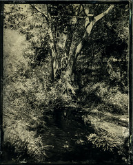 Tree & Stream (Blurmageddon) Tags: 4x5 largeformat wetplatecollodion newguycollodion senecaimprovedview 4x5reducingback epsonv700 malibu california osaka120mmf63 tree ammoniumthiosulfate alternativeprocess