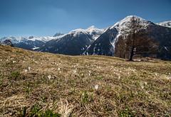 The Flowers (schofz) Tags: guarda schweiz switzerland engadin graubünden mountain