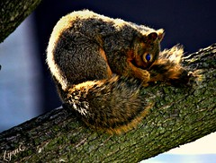 Our friend. who is cleaning himself in the pear tree (Lynn English) Tags: squirrel yard happyribbet