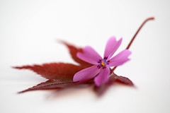 still-life 22-04-2019 011 (swissnature3) Tags: stilllife macro flowers leaf