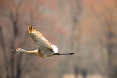 _U7A5057 (rpealit) Tags: scenery wildlife nature wallkill river national refuge sandhill crane bird flying
