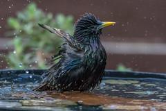 Birdbath antics! (sean4646) Tags: reddishvale09thdecember2018