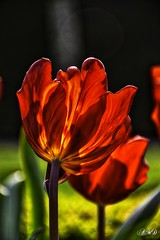 Red Tulip (antoahanya) Tags: tulip nature garden colourful color colorful natural bloom red flora plants outside outdoor nikon petal flowers flowerscolors flower f
