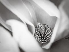 Magnolia heart (Karsten Gieselmann) Tags: 40150mmf28 baum blüten bäume dof em5markii farbe frühling grau jahreszeiten mzuiko magnolie makro microfourthirds monochrome natur olympus pflanzen schwarzweis schärfentiefe bw blackwhite color gray kgiesel m43 macro magnolia mft mono nature plants sw seasons spring tree trees