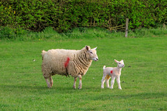 20190418 0086 Ewe With Lamb Field Walk Kibworth Harcourt Leicestershire (rodtuk) Tags: 4star agricultural england flipublic flickr food kibworth kibworthharcourt leicestershire mammal midlands misc nature phototype places rating uk wip