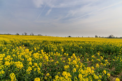 20190418 0082 Rapeseed Flowers Field Walk Kibworth Harcourt Leicestershire (rodtuk) Tags: 4star agricultural england flipublic flickr flower food kibworth kibworthharcourt leicestershire midlands misc nature phototype places plant rating uk wip