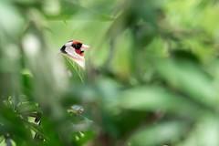 Chardonneret élégant (Dakysto94) Tags: chardonneret élégant oiseau bird animal nature