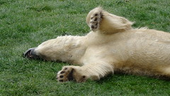 Bear flop (LadyRaptor) Tags: yorkshirewildlifepark yorkshire wildlife park doncaster ywp nature outdoors spring time springtime warm basking rest resting tired relaxing chilling comfortable relaxed happy content laying roll rolling flop flopping cute animal animals predator carnivore caniformia ursidae polarbear polarbears male polar bear bears ursus maritimus projectpolar nobby