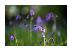BLUEBELLS (Barry Haines) Tags: flickrsbest national trust trerice cornwall bluebells sony a7r2 a7rii voigtlander 110mm macro f25 apolanthar