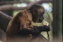 Spider monkey (proyectoasis) Tags: