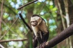 Capuchin monkey (proyectoasis) Tags: