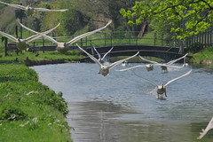 IMG (haslerbryan) Tags: green river water canon60d newriverpath uk hertfordshire birdsinflight muteswan