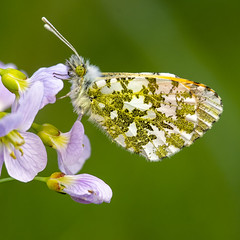 Anthocharis cardamines (Ouwesok) Tags: sonyslta77 sigmaapo56180mmaf anthochariscardamines oranjetipje vlinder insect kamperhoek flits