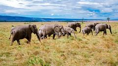 Elephants (pbuschmann) Tags: elefants safari kenia africa masaimara