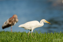 Lunch (www.sophiethibault.ca) Tags: photographie hérongardeboeufs usa avril floride 2019 lakeside nature florida bird birds cattleegret