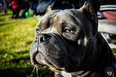 DSC_0346 (Luz_Luque) Tags: dogs abkc animal amby bully photography