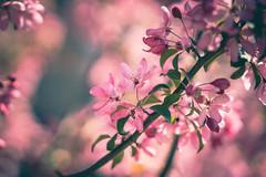 Cherryblossoms (michel1276) Tags: cherrytree cherryblossoms kirschblüte zierkirsche sonya7iii fe8514gm blüte blossom blooming