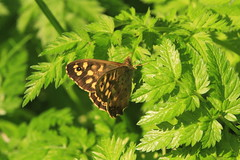 Speckled wood butterfly (jon lees) Tags: lead mines whitespots northernireland newtownards countydown insect invertebrate