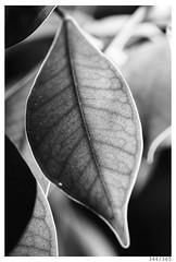 Texture (Aljaž Anžič Tuna) Tags: textuire nature leaf fikus ginseng photo365 project365 onephotoaday onceaday 365 35mm 365challenge 365project nikkor nice nikond800 nikon nikon105mmf28 makro 105mmf28 f28 dailyphoto day d800 dof bw blackandwhite black white blackwhite beautiful