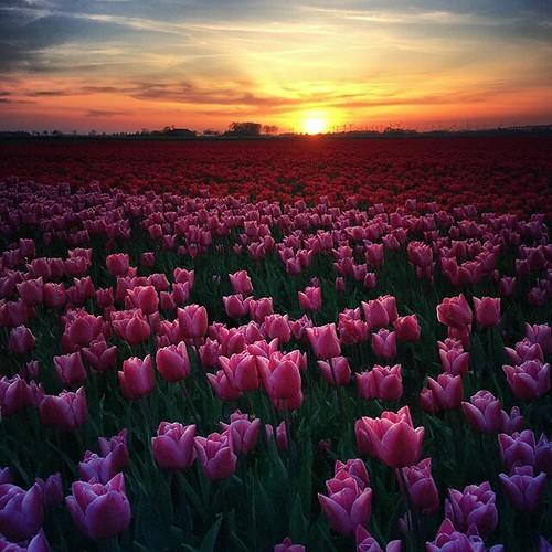 En ineens hebben we een tulpenzee hier in de polder 😍 #groningen #daspasgrunnen #tulips #flowers #sunset #mextures #dutch #landscapephotography