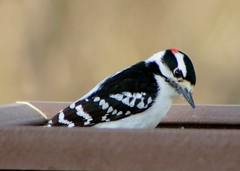Male Downy Woodpecker 2 (Emily K P) Tags: bird wildlife animal dorothycarnes park songbird birdfeeder downywoodpecker downy woodpecker black white pattern male red perched sitting