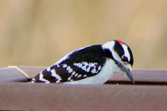 Male Downy Woodpecker 1 (Emily K P) Tags: bird wildlife animal dorothycarnes park songbird birdfeeder downywoodpecker downy woodpecker black white pattern male red perched sitting