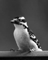 Female Downy Woodpecker with Seed 2 BW (Emily K P) Tags: bird wildlife animal dorothycarnes park songbird birdfeeder downywoodpecker downy woodpecker black white pattern female seed food feeding eating blackandwhite perched sitting