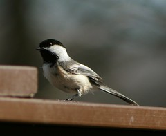 Chickadee 1 (Emily K P) Tags: bird wildlife animal dorothycarnes park songbird birdfeeder blackcappedchickadee chickadee grey gray black