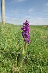 Early Purple (Worthing Wanderer) Tags: cornwall coast cornwallcoast cliffs countryside coastline may sunny southwestcoastpath flowers wildflowers