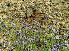 IMG_20190422_102015e (joeginder) Tags: jrglongbeach oceantrails pacific california beach rocky cliffs wildflowers hiking