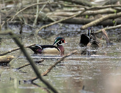 Wood ducks (carpingdiem) Tags: woodduck birds indianapolis spring 2019