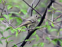 Ruby crowned kinglet (carpingdiem) Tags: rubycrownedkinglet birds indianapolis spring 2019