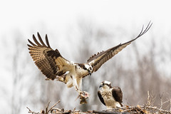 Male osprey returns to nest with mostly eaten fish (dwb838) Tags: fish nest triangle flight osprey pair