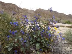 canterbury bells (h willome) Tags: 2019 california desert wildflowers joshuatree joshuatreenationalpark