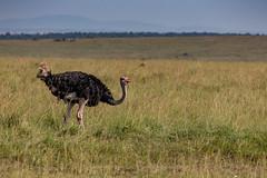 Male Ostrich in Maasai mara (Jill Clardy) Tags: africa tanzania vantagetravel safari 201902269l8a1708 male ostrich national park savanna transmara grass grasses maasai mara