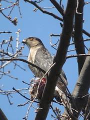 Sharp-shinned Hawk 3 (D. S. Hałas) Tags: halas hałas canada ontario haltonregion haltoncounty oakville nipegontrail chordata sarcopterygii aves accipitriformes accipitridae accipiterstriatus hawk bird