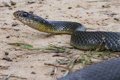 (o texano) Tags: houston texas snake reptile yellowbellyracer
