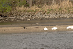 American White Pelicans on the Rock River (turn off your computer and go outside) Tags: rockriver wi critter identified 2019 wisconsin janesville april22nd bird birdsofminnesotaandwisconsinpage43 americanwhitepelican pelecanuserythrorhynchos rockcounty april