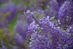 Wisteria flower bird (gwuphd) Tags: iscogottingen cineluxultra mc 135mm f2 projectionlens wisteria purple bokeh diy