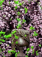 """Cincinnati - Spring Grove Cemetery & Arboretum """"Springtime Vase"""" (David Paul Ohmer) Tags: cincinnati ohio spring grove cemetery arboretum cherry tree vase"""