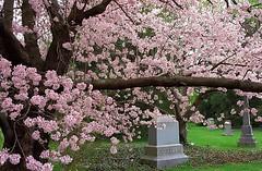 "Cincinnati - Spring Grove Cemetery & Arboretum ""Cherry Tree At Rest"" (David Paul Ohmer) Tags: cincinnati ohio spring grove cemetery arboretum cherry tree"