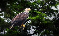 Majestic Bald eagle (debamalya.chatterjee) Tags: bird birds birdwatching birdphotography birding nikon nature d7200